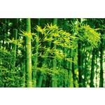 Wizard+Genius Juliste Giant Art 00670 Bamboo in Spring 175x115cm